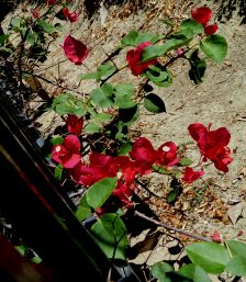 Bougainvillea Fence