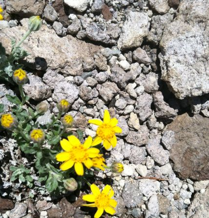 Wildflower Among Volcanic Rocks