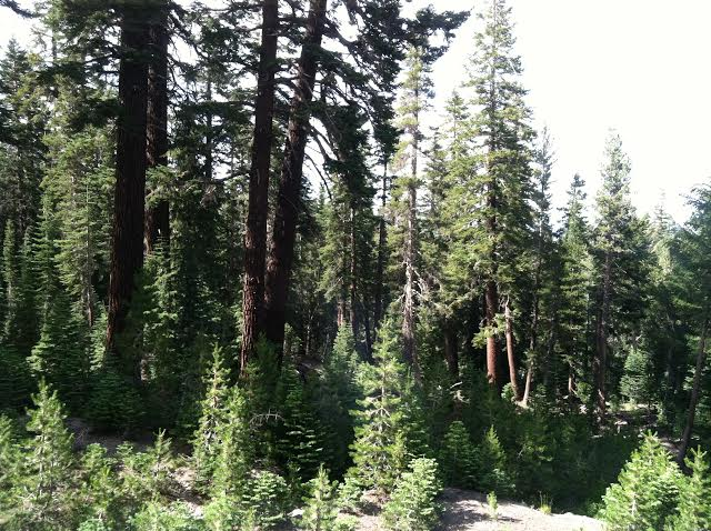Trees at Mammoth