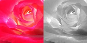 Colorful and Monochrome Rose