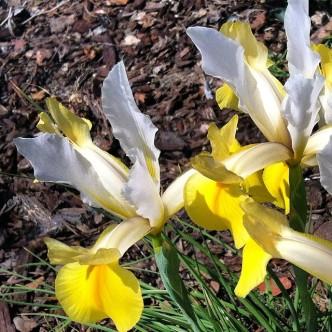 Beardless Yellow Iris