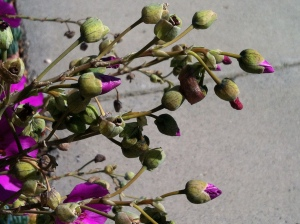 Flower Buds Over Sidewalk