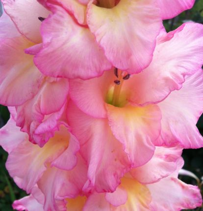 Pink Gladiolus