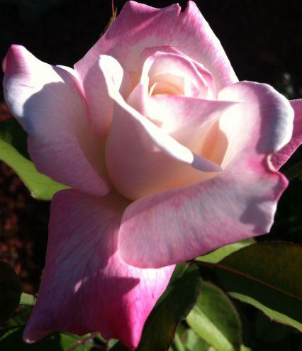 Sunlit Rose