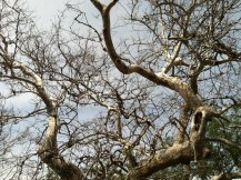 Sycamore Branches