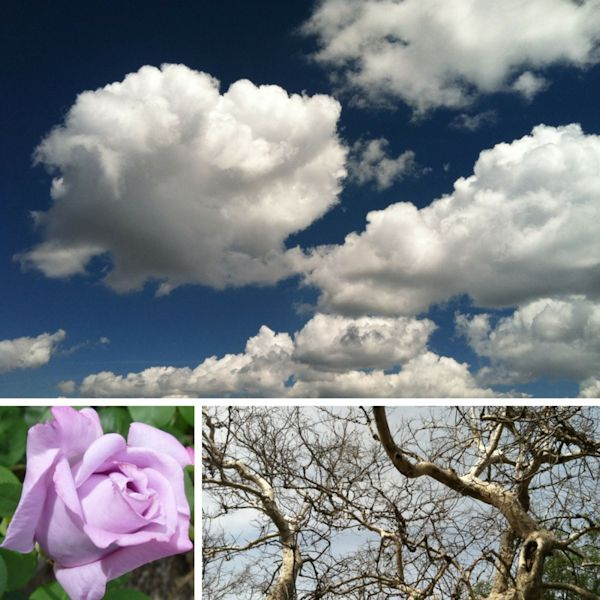 Blue sky with clouds, lilac colored rose, sycamore tree blanches without leaves