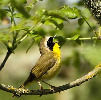 Common yellowthroat  Credit: George Gentry/USFWS