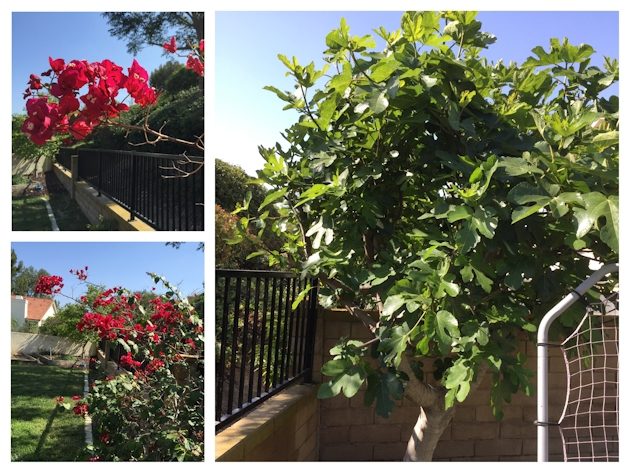 Fig Tree Bougainvillea Collage