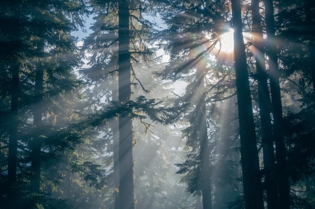 Picture of sun shining through evergreen forest of coastal redwoods (I believe).